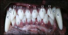 aging puppies by dentition - Google Search