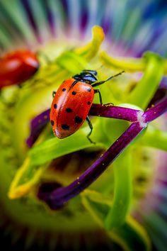 Ladybug on passionflower