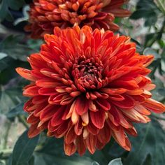 forms a cushion of pretty, intensely-colored reddish-orange, blossoms from early September through December. Hardy to Zone 3