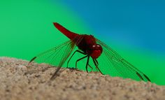 The World's Most Colorful Winged Creatures ~ Broad Scarlet