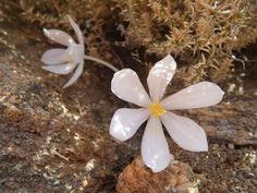 Gethyllis lanuginosa flower in nature Bulb Flowers, Bulbs, Seasons, Nature, Youtube, Wild Flowers, Plant, Lightbulbs, Naturaleza