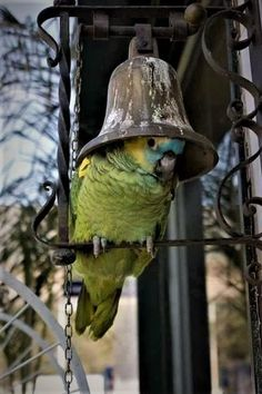 Blue Front Amazon Parrot. They Love Bells. (both ringing them or like pic hiding under it). #parrotpet #parrothumor