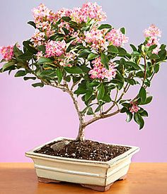 Indian Hawthorn Bonsai.  Buds in mid-March and blooms through mid-May.