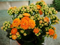 Kalanchoe Calandiva is a spring plant that looks beautiful on any ...