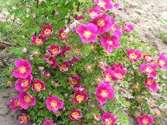 Rosslänt. Blog med bilder på rosor använda i en brant slänt.
