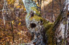 старое дерево с дуплом Owl, Птица, Животные