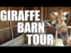 Giraffe Barn Slideshow | April The Giraffe - YouTube