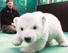 Baby polar bear on patrol.