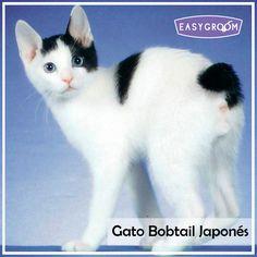 Gato Bobtail Japonés #CatBreed #Mininos #CatLovers #Gatunos #Sweet #Gato #Felino #Raza