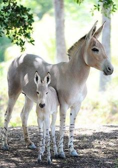 Beautiful SOMALI Wild Ass, Mama and her foal ❤️ The ancestors of domesticated Donkeys...Critically endangered. What a beautiful species and let's pray they prosper. ~ Ariane