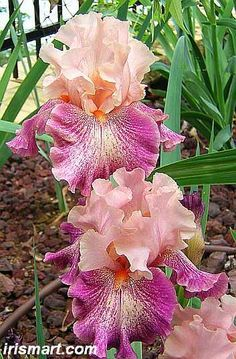 Tall Bearded Iris Musician (Iris germanica)                                                                                                                                                                                 More