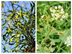 Două PLANTE care reglează TENSIUNEA ARTERIALĂ mică sau mare Natural Remedies, Fruit, Nature, Medicine, Plant, Health, Naturaleza, Natural Home Remedies, Nature Illustration