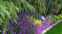 perennials in chartruce and purple | ... chartreuse color with the strong purple of the salvia...this is color