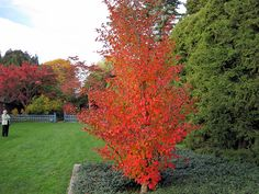 The Japanese Stewartia tree may possibly be Autumn's most uniquely colorful tree… Full Sun Shrubs, Trees And Shrubs, Flowering Trees, Trees To Plant, Trees For Front Yard, Front Yard Plants, Colorful Trees, Small Trees, Backyard Landscaping