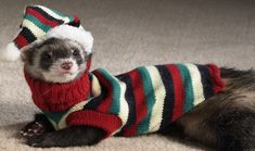 Ferret wearing sweater. #animalsinclothes