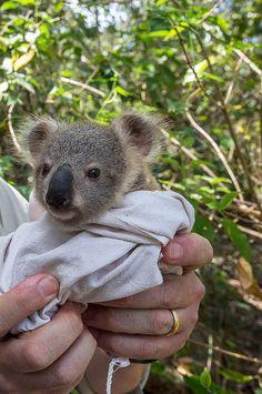 koala joey❤️❤️❤️❤️❤️❤️❤️❤️❤️❤️❤️❤️❤️❤️❤️❤️❤️❤️❤️❤️❤️❤️unbelievably cute!!!!
