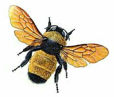 Bumble bee illustration from Peterson First Guide to Insects of North America