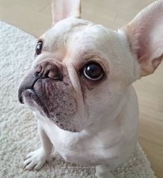 """you said no, but I has dis Face... so yes"", Classic French Bulldog Face"
