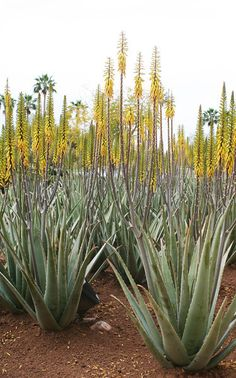 #AloeVera has many useful properties. The Sanskrit name for aloe vera is kumari, which means 'princess'.