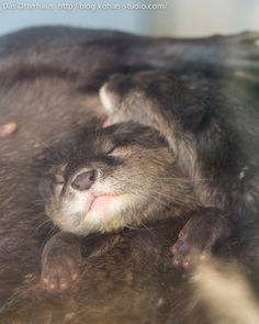 Otter pup falls asleep in the middle of a cozy otter pile - July 28, 2013