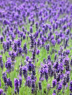 Lavender by Mike PD, via Flickr
