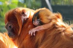 A new born bright orange Golden Lion Tamarin hangs on for the ride.
