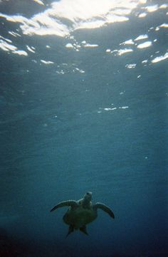 a picture i took w/a disposable underwater camera of a green sea turtle, or honu, while snorkeling at mala bay in maui 06-07...