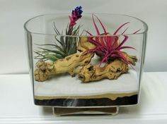 Blooming antheros Tillandsia and a blushed Tillandsia on Grapewood in this Retro Style bended Square Terrarium Vase.