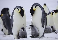 EMPEROR PENGUIN'S WITH BABY