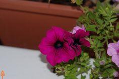 Fiore pugliese