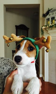 A Jack Russell Terrier Christmas!