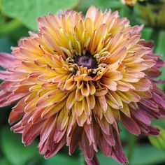 Rudbeckia 'Caramel Mixed' seeds from Thompson & Morgan - experts in the garden since 1855 Tall Flowers, Pretty Flowers, Wedding Plants, Wedding Flowers, Seed Catalogs, Growing Roses, Hardy Perennials, Hydroponic Gardening, Gardening Tips