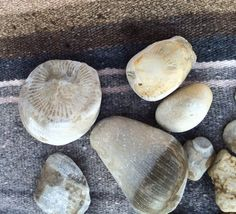 Horn coral  What makes it interesting: Fossilized coral animals millions of years old. Can be sliced and polished for jewelry.  Found: These were found in Southwest Michigan  http://www.mlive.com/news/kalamazoo/index.ssf/2015/11/collectible_rocks_of_southwest.html