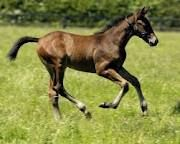 This Irish thoroughbred foal represents the third of the breeds Caro works in her breeding operation at Denby Lodge Thoroughbred, Pony, Horses, Third, Irish, Animals, Pony Horse, Animales, Irish People