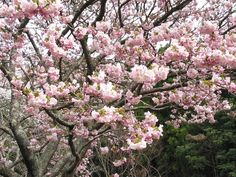 cherry blossom wallpaper widescreen