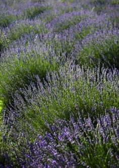 The village of Velo Grablje was once one of the largest producers of lavender oil in Dalmatia in the 1930s, but fell into disrepair. It is now the centre of the annual lavender festival