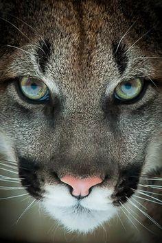 Cougar ..