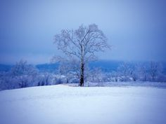 Sycamore in Winter - null