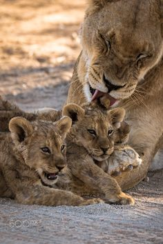 Grooming Day! Lions