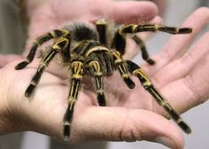 Logan Stewart marketing manager and public relations with Discovery Place , holds a Chaco Golden Knee #Tarantula,that will be on display at #Animal Grossology,