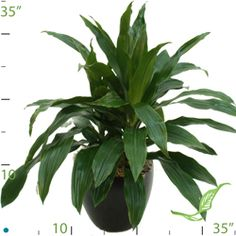 The Dracaena Limelight is a great pop of color for those medium to low light areas in your home. Best Indoor Plants, Air Pollution, Tropical Plants, Low Lights, Color Pop, Plant Leaves, Colour Pop