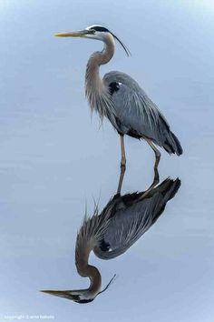Great Blue Heron~