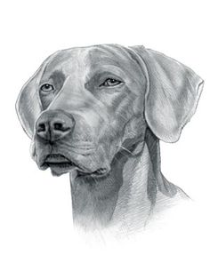 Find interesting facts and information about the Weimaraner breed. Discover facts about the history, characteristics and temperament of the Weimaraner breed. Description of the Weimaraner with details of height, weight, diet and grooming. Dog Drawings, Tattoo Design Drawings, Animal Drawings, Tattoo Designs, Dog Stencil, Weimaraner, Dog Names, Dog Art, Labrador Retriever