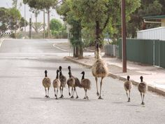 """Taking the family out for an afternoon stroll. The """"kids"""" are well behaved! Emu and chicks in South Australia......"""