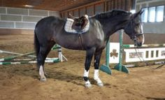 Clydesdale cross for sale on Epona Exchange. A beautiful draft sport horse with the sweetest personality.