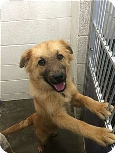 Quakertown, PA - Shepherd (Unknown Type)/Collie Mix. Meet Austin a Dog for Adoption w/ Last Chance Ranch Animal Rescue pets@lastchanceranch.org