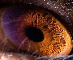 ojo Chimpancé