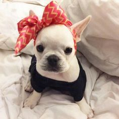 """I'm sassy and I know it"", Zoe, the French Bulldog Puppy @_zoethefrenchie_"