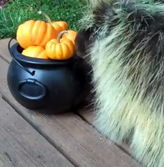 You HAVE you watch this, people! It's a porcupine named Teddy eating a pumpkin and making the cutest little noises I've ever heard in my life.