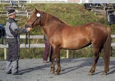 Nordland/Lyngen Horse - mare Raudlinn